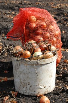 Free Onion In Bucket And Bag Royalty Free Stock Image - 16023106