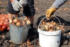 Free Onion In Buckets Stock Photo - 16023140