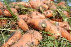 Free Carrot During Harvesting Stock Images - 16023194