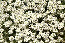Free White Flowers Royalty Free Stock Photography - 16023217
