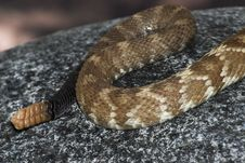 Free Tail Of Rattlesnake, Crotalus Molossus Royalty Free Stock Photo - 16024705