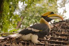 Free Hornbill. Royalty Free Stock Photos - 16028568