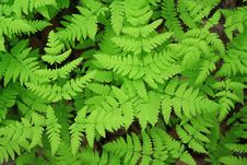 Free Green Leaves Of A Fern Royalty Free Stock Images - 16028799