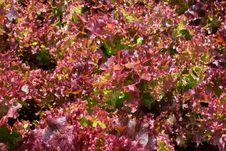 Free Violet Lettuce Stock Images - 16028834