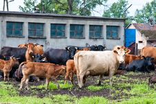 Free Claf And Cows On Dairy Farm Stock Images - 16029684