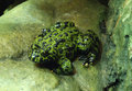 Free Fire-bellied Toad Royalty Free Stock Images - 16030039