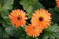 Free Herbera Daisy Royalty Free Stock Photos - 16033338