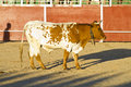 Free Spanish Bull. Bullfight. Halters Royalty Free Stock Photography - 16035537