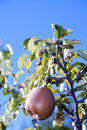 Free Pear On The Tree Stock Photography - 16035632