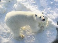 Free Polar Bear Royalty Free Stock Image - 16030336