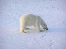 Free Polar Bear Stock Images - 16030384