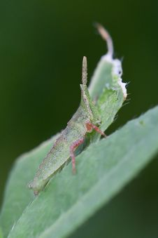 Free The Baby Locust Stock Photography - 16032072