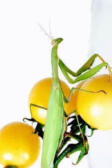 Mantis On The Yellow Cherry Tomatoes Stock Photo