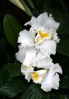 Free Orchids Royalty Free Stock Photos - 16033308