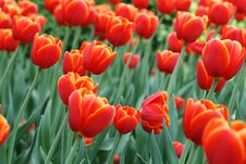 Free Tulips Stock Images - 16033444