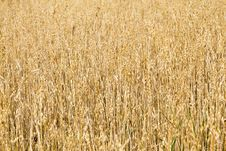 Free Oat Field Royalty Free Stock Photos - 16033458