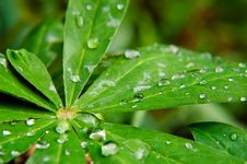Free Wet Green Leafs Stock Photography - 16033952