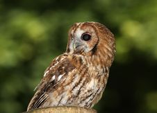 Free Tawny Owl Royalty Free Stock Photos - 16034418
