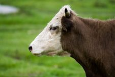 Free Bull In A Pasture Royalty Free Stock Image - 16034716