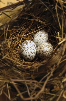 Free Bird Nest With Eggs Stock Photo - 16035330