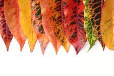 Free Croton Leaves Stock Image - 16035341