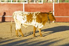 Free Spanish Bull. Bullfight. Halters Royalty Free Stock Photography - 16035537
