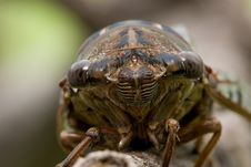 Cicada Head Stock Images