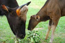 Free Thai Bison Stock Image - 16037071