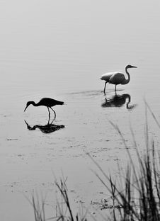 Free Pair Of Birds In Black And White Royalty Free Stock Images - 16038129