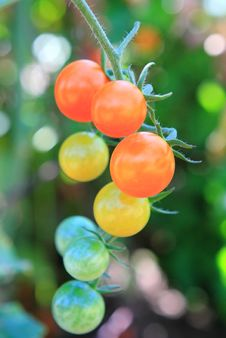 Free Cherry Tomatoes On The Vine Stock Image - 16038391
