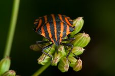 Free Black Orange Striped Bug Royalty Free Stock Image - 16039266