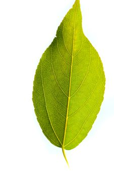 Free Green Leaf On Sunlight Stock Photography - 16039282