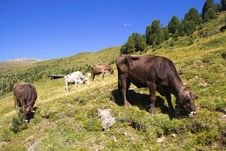 Free Cows Stock Photography - 16039742