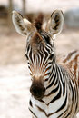 Free Young Zebra Royalty Free Stock Photo - 16042485