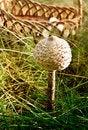 Free Parasol Mushroom Stock Image - 16046491