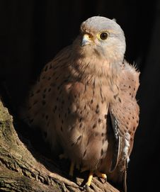Free Kestrel In Black Background Royalty Free Stock Images - 16040259
