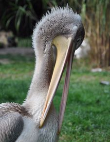 Pelican Royalty Free Stock Image