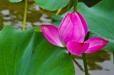 Free Lotus Royalty Free Stock Photos - 16040738