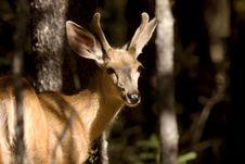 Deer Buck Stock Images