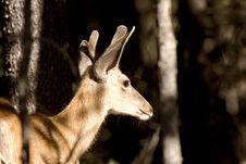 Deer Buck Royalty Free Stock Images