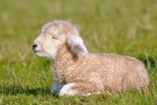 Free Cute Lambs Royalty Free Stock Photo - 16043055