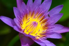 Free Water Lily Stock Image - 16045141