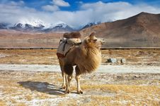 Plateau Camels Stock Photography