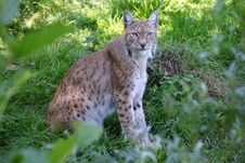 Free Lynx 2 Royalty Free Stock Photo - 16046455
