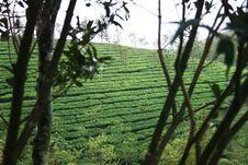 Tea Gardens Royalty Free Stock Photography
