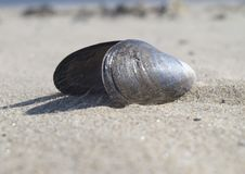 Free Mussel Shell Stock Image - 16047721