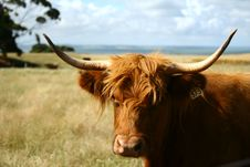 Free Bulls In The Wild Royalty Free Stock Image - 16048066