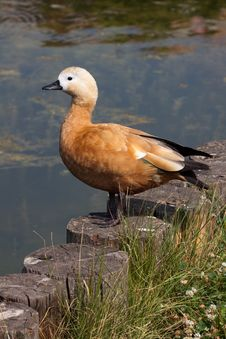 Free Ruddy Shelduck Royalty Free Stock Image - 16048286