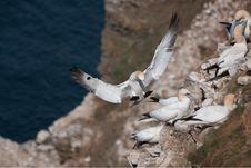 Free Northern Gannet (Morus Bassanus) Stock Photography - 16048382