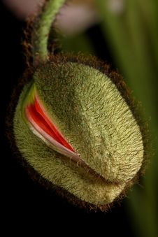 Free Closeup Of Poppy Bud Stock Photography - 16048452